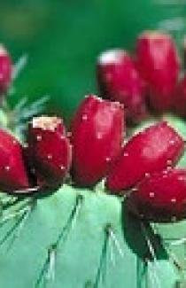 Перуанский яблочный кактус (уп)
