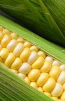 Семена кукурузы Днепровский 3000шт