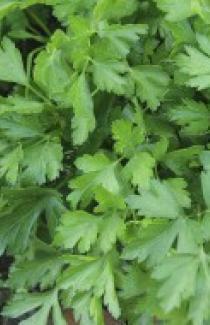 Семена петрушки Гиганте де Италия 1кг