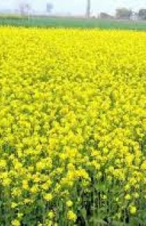 Семена горчицы желтой  1кг