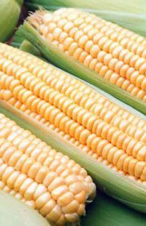 """Семена кукурузы """"Хмельницкий F1"""" 3000шт"""