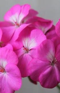 Семена Пеларгонии Павла F1 1шт (Cerny Чехия)