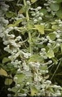 Купить семена лекарственных растений Пол-пала