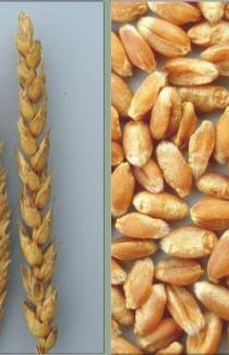 Пшеница яровая