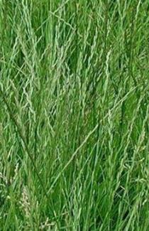 приобрести семена весового райграса