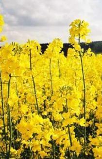 Купить сидераты семена рапса озимого почтой оптом и в розницу с доставкой в Укра