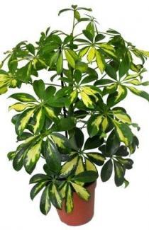 Семена  Шеффлера  Зелёная звезда  5шт