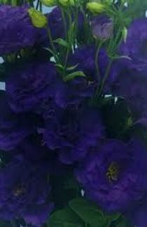 Семена Эустома АВС 2 F1 синяя, махровая 10 гран.