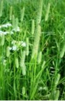 приобрести семена весовой тимофеевки