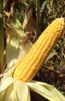 """Семена кукурузы """"Веге F1"""" 200шт"""
