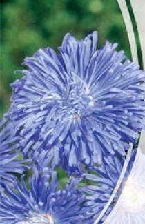 Семена Астры Хризантемовидная Блю Скай (0,3г)