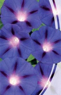 Семена Ипомеи Синяя звезда (1г)