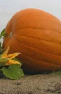 Семена тыквы Желтый великан 0,25кг