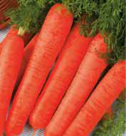 Семена моркови Длинная красная 100г (Коуел Германия)