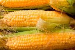 Семена кукурузы сахарной Андреа F1 SX-654 1кг
