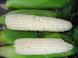 Семена кукурузы Андреевский F1 200шт