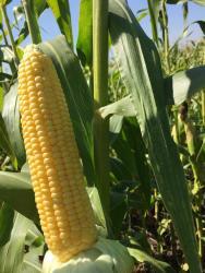 """Семена кукурузы """"Багратион F1"""" 1000шт"""