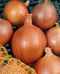 Семена лука-севка Бургос 1кг