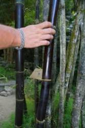 Семена черного бамбука 5 шт