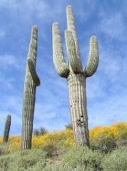 Гигантский кактус  (Carnegia Gigantea) 6 шт
