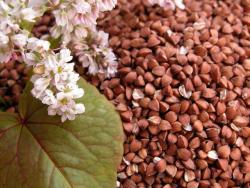 Купить семена сидерата гречки почтой оптом и в розницу с доставкой в Украине.