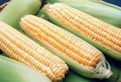 Семена кукурузы Хмельницкий F1 30 000 шт