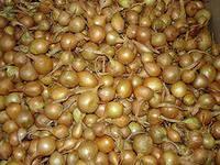 Семена лука севок Кубидо