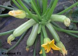 Семена кабачка Кавили F1 100шт
