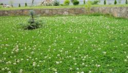 Семена клевера белого 0,5кг