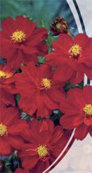 Семена  Космея Красный Венец 0,5г