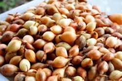 Семена лука-севка №2 Польша