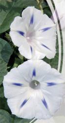 Семена Ипомея Милки Вэй 1г