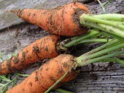 Семена морковь кормовая