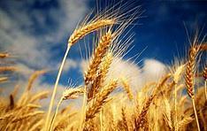 Пшеница Озимая Есаул