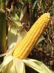 Семена кукурузы Веге 1 F1 20 000 шт