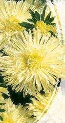 Семена Астры Хризантемовидной Изабелла (0,3г)