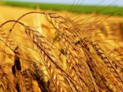 Пшеница яровая сорт Ранняя 93