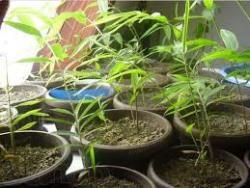 Семена Бамбука Морозостойкого 10 шт