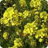 приобрести семена весовой редьки масличной