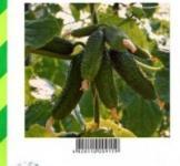 Семена огурца Амур F1 100шт  (Bejo Голландия)