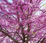 Семена Церсиса (иудиного дерева) 2 шт
