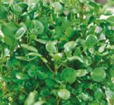Семена Водяного кресса 0,1г