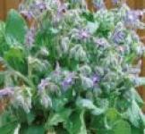 Семена огуречной травы 1г