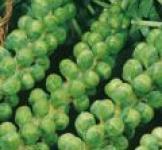 Семена капусты брюссельской Лонг-Айленд 1г