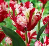 Тюльпан попугайный Estella Rijnveld (Эстелла Рижнвельд) 2шт