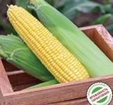 Семена кукурузы Турбин F1 20шт (Clause Франция)
