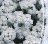 Семена  Агератум Белая Река 0,2г
