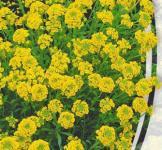 Семена Алиссум Гмелина 0,2г