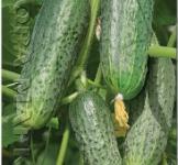Семена огурца Андрус 5г (Roltiko Польша)