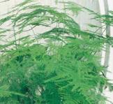 Семена Аспарагус перистый 0,2г